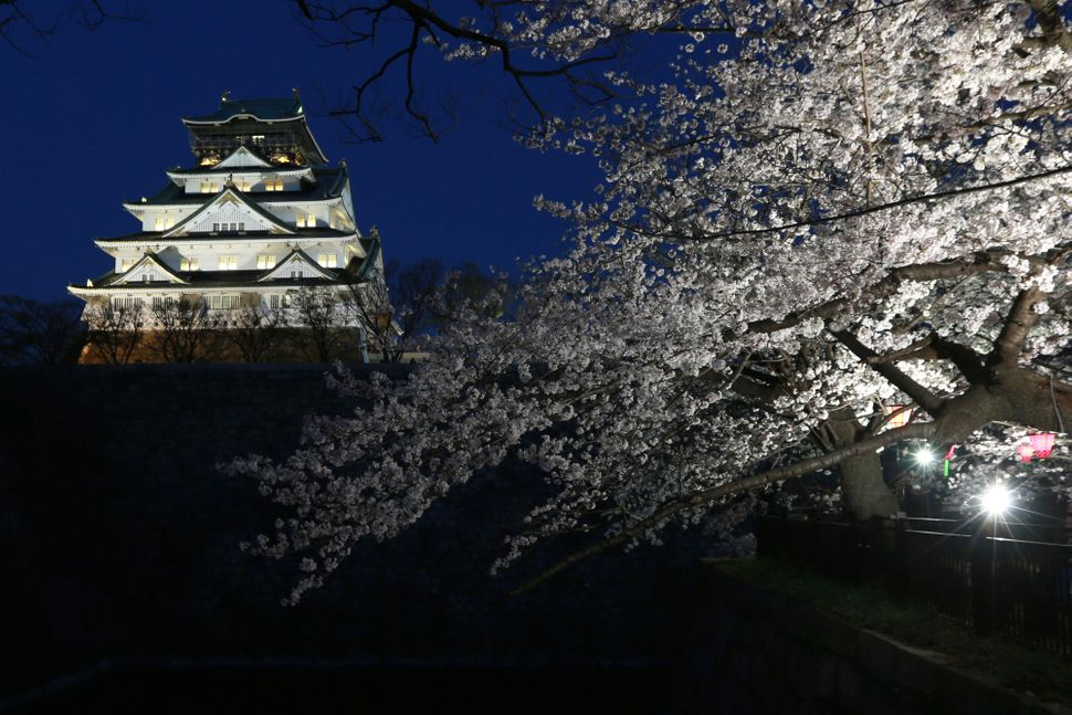 Cherry trees are illuminated at Nishinomaru Park as they stand in bloom in front of Osaka Castle.