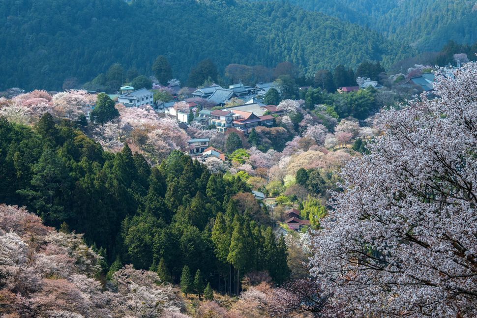 Cherry blossom blooms on hillsides near Mount Yoshino.