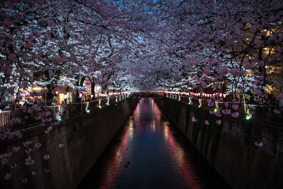 Cherry blossoms hang over the Meguro River.