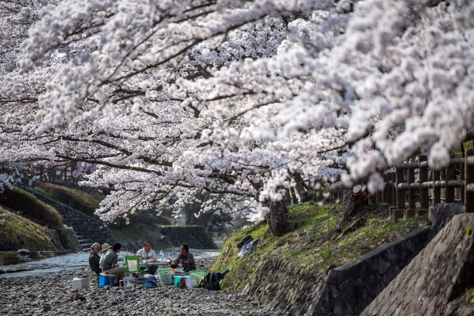 A group of men enjoy a hanami picnic under cherry blossom trees in Kameoka Yawaraginomichi Sakura Park.