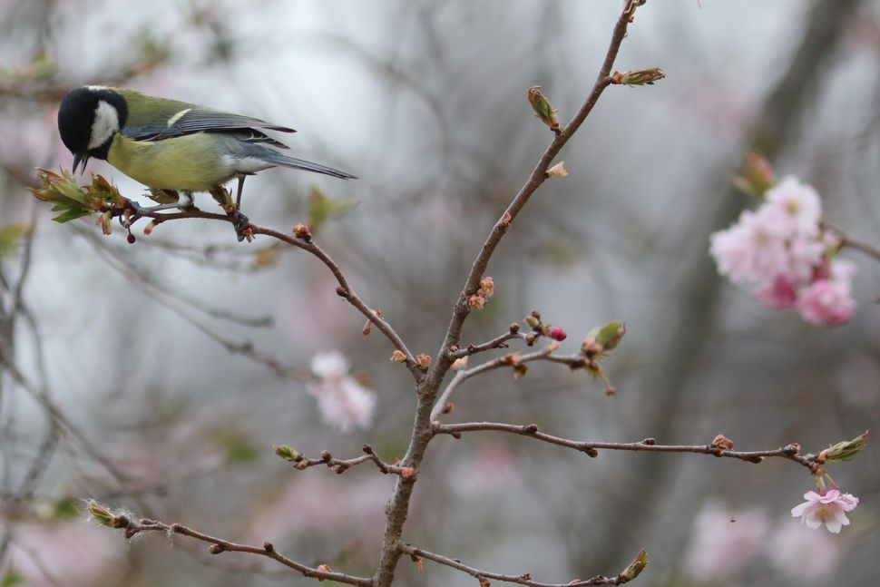 A Great Tit collects cherry blossom for nesting in Hyde Park.