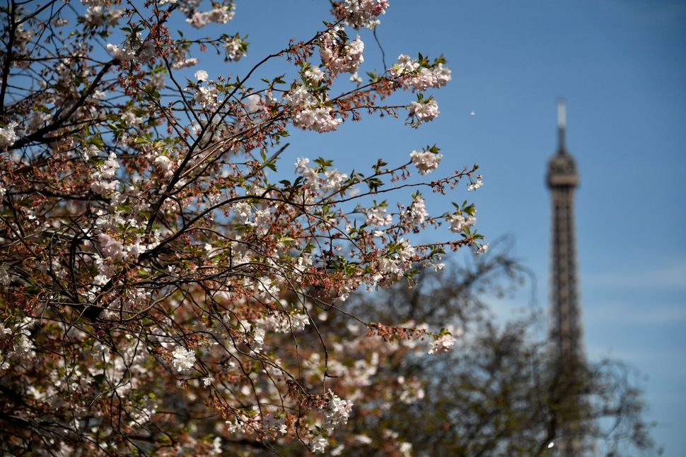 A cherry blossom tree blooming near to the Eiffel Tower.