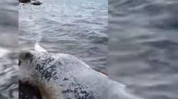 Νεκρή φάλαινα 9 μέτρων ξεβράστηκε σε παραλία στη