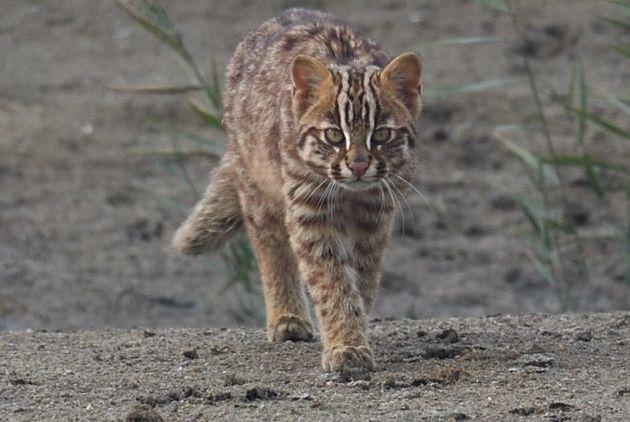 버젓이 대낮에 나타난 멸종위기 야생생물 2급 삵. 보통