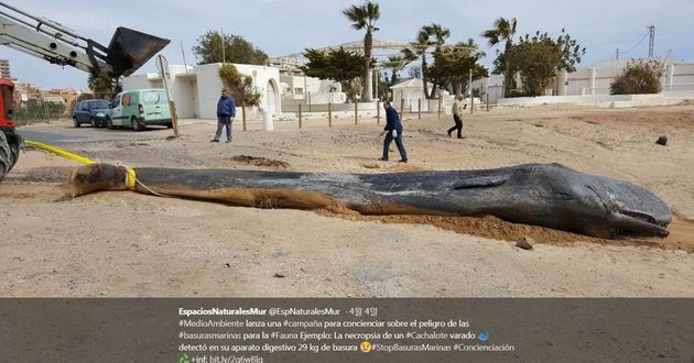스페인 남부 해변에서 2월 발견된 향고래