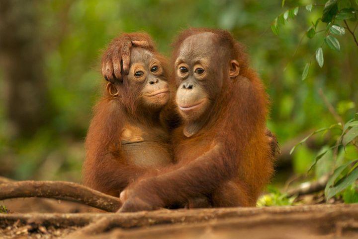 Young Orangutans hugging in Nyaru Menteng Orangutan reintroduction project near Palangka Raya, Central Kalimantan.