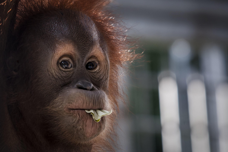 El orangután de Sumatra se encuentra en peligro de extinción debido, en parte, a la expansión corporativa...