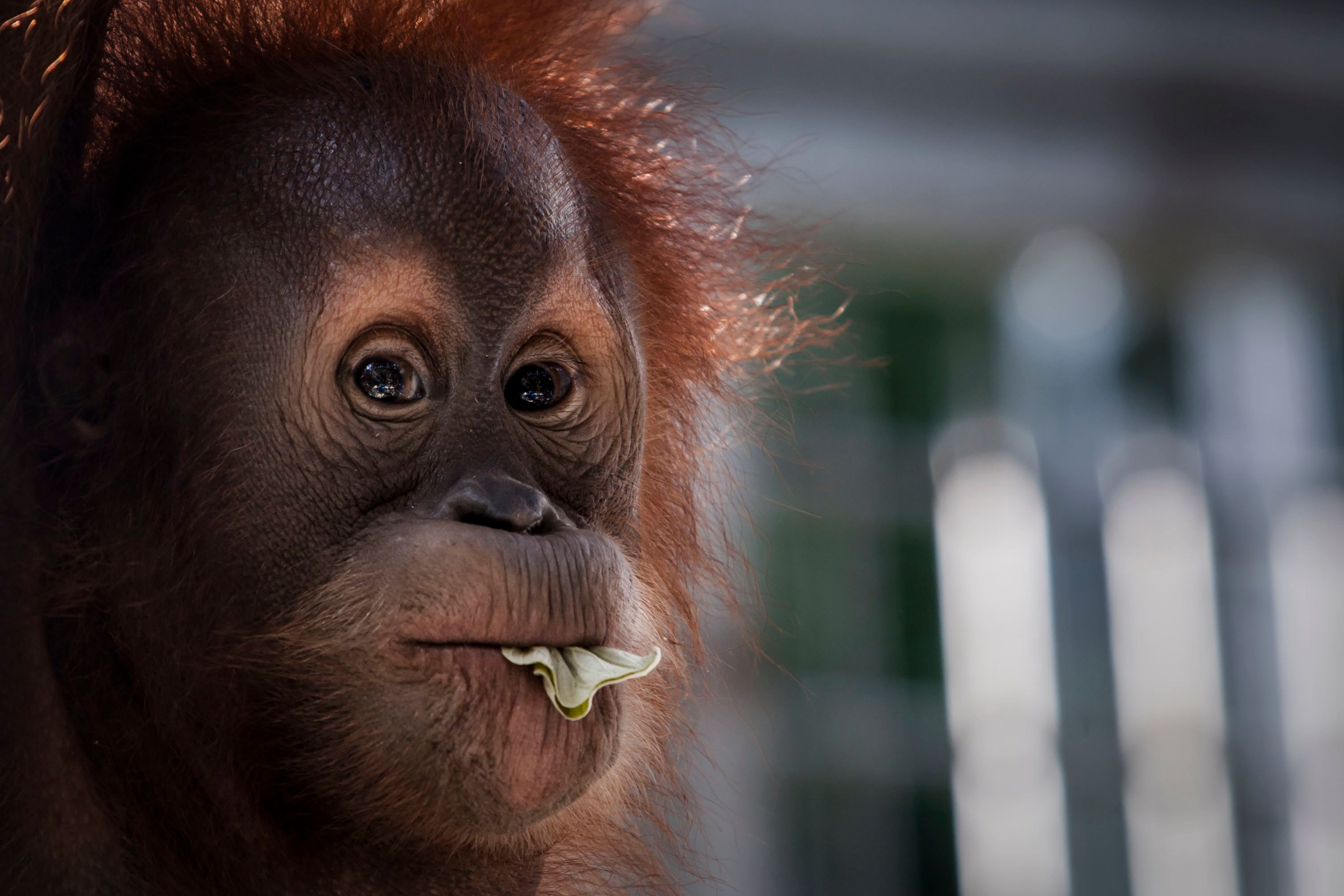 NORTH SUMATRA, INDONESIA - NOVEMBER 11:  A sumatran orangutan (Pongo abelii) is seen inside a cage at Sumatran Orangutan Conservation Programme's rehabilitation center on November 11, 2016 in Kuta Mbelin, North Sumatra, Indonesia. The Orangutans in Indonesia have been known to be on the verge of extinction as a result of deforestation and poaching. Found mostly in South-East Asia, where they live on the islands of Sumatra and Borneo, the endangered species continue to lose their habitat as a result of corporate expansion in a developing economy. Indonesia approved palm oil concessions on nearly 15 million acres of peatlands over the past years and thousands of square miles have been cleared for plantations, including the lowland areas that are the prime habitat for orangutans.  (Photo by Ulet Ifansasti/Getty Images)