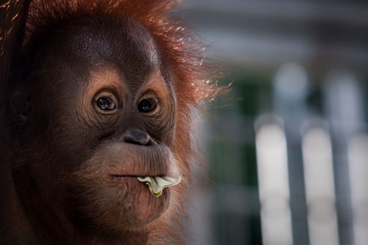 A Sumatran orangutan. The endangered species continue to lose its habitat, in part thanks to corporate expansion fo