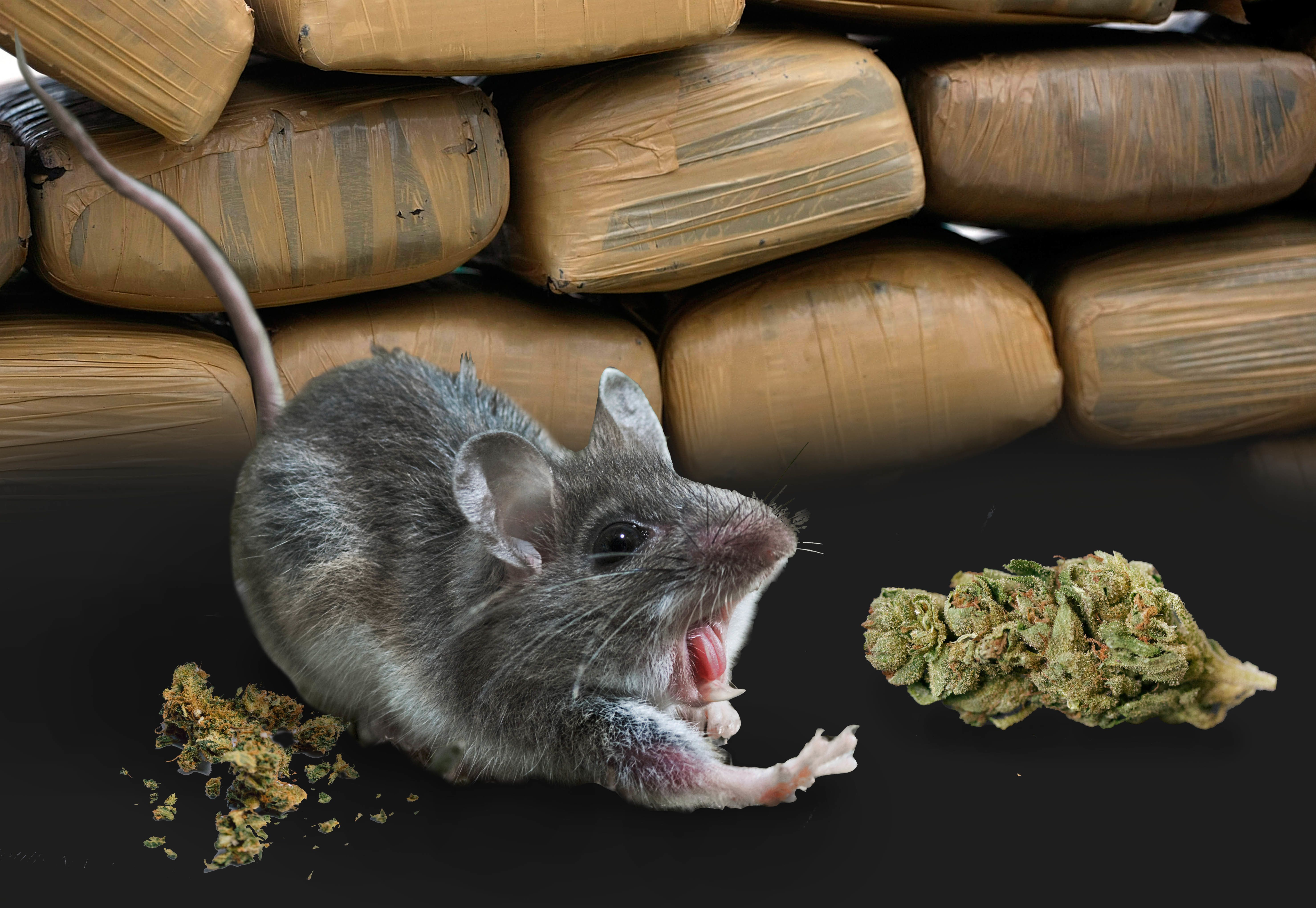 Cops Fired After Blaming Missing Half-Ton Of Pot On Stoner Mice