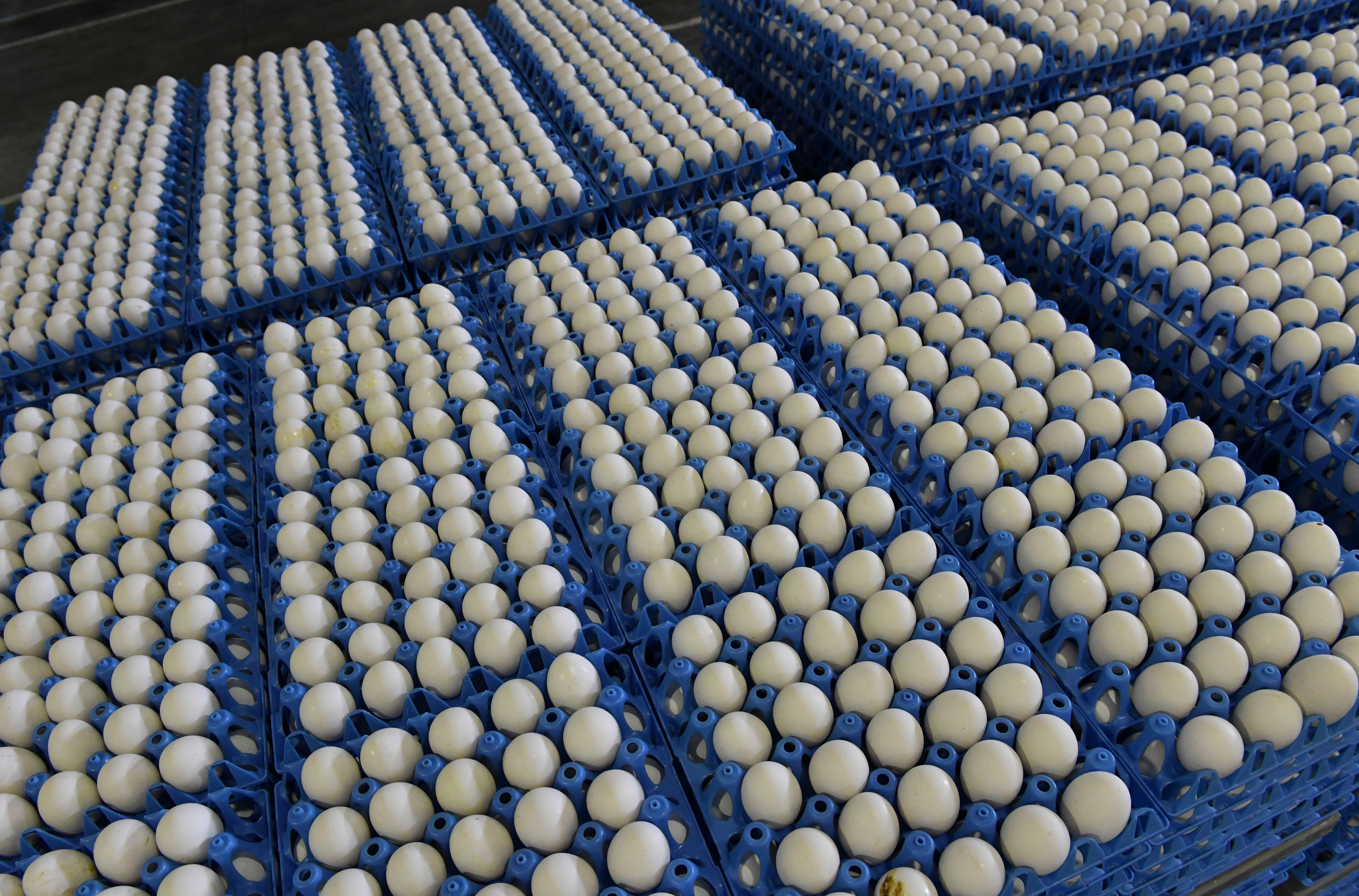 Chicken eggs are pictured at a facility in Costestii din Vale village ON August 11, 2017. One tonne of egg yolk liquid contaminated with the insecticide fipronil has been found in Romania, the first discovery in eastern Europe since the tainted egg scandal erupted, the veterinary health authority said Thursday. / AFP PHOTO / Daniel MIHAILESCU        (Photo credit should read DANIEL MIHAILESCU/AFP/Getty Images)