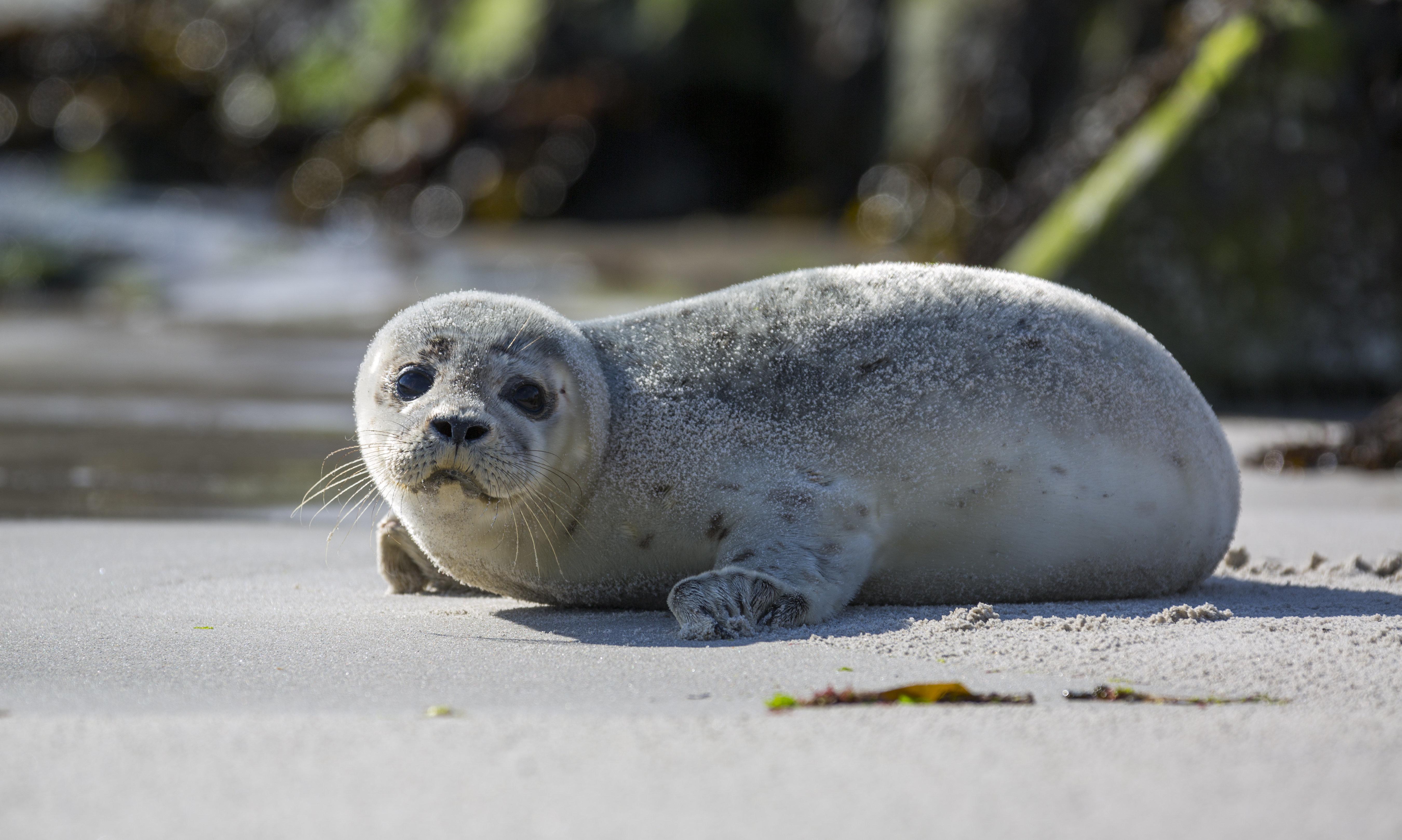Usedom: Baby-Robbe ruht sich am Strand aus – dann muss die Polizei eingreifen