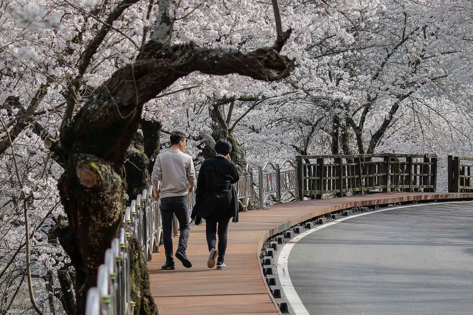 People enjoy cherry blossoms along the side of the road.