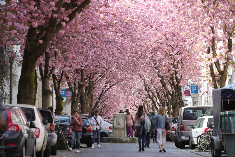 Vivid cherry blossom trees are seen in the streets of the historic district.