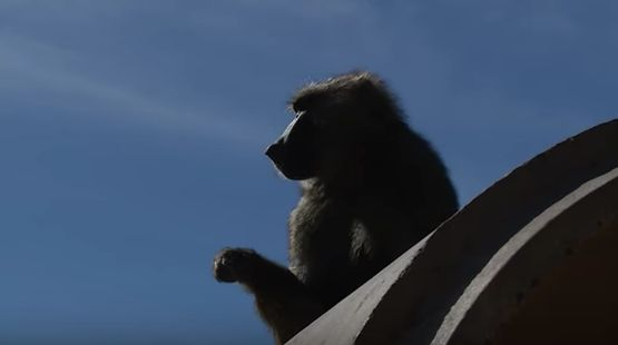 Silhouette of a baboon at the Texas Biomedical Research Institute in San Antonio.