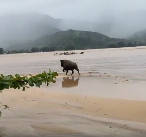 One of the bison that fled from a flooded ranch in Hanalei.