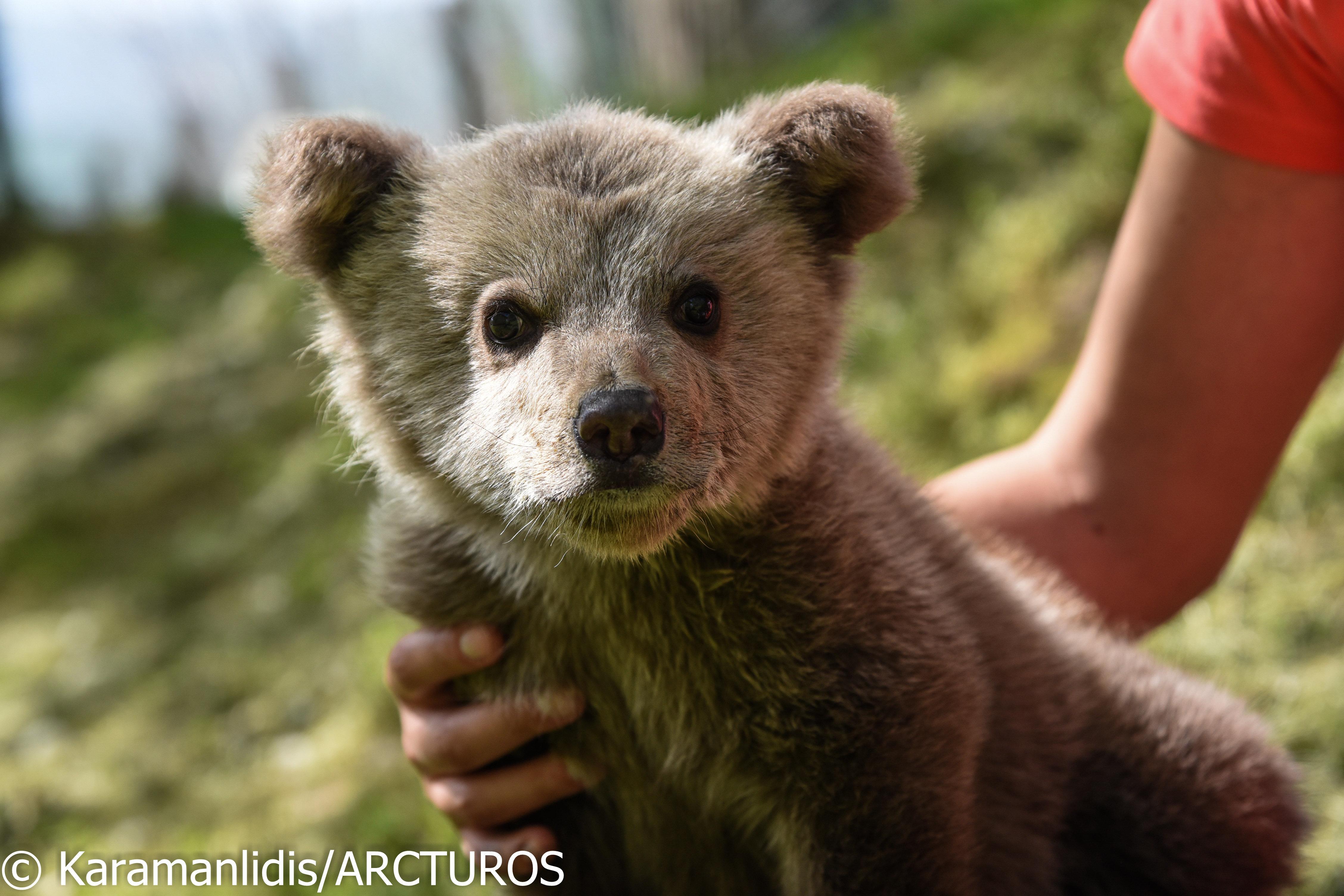 Ο Αρκτούρος θα φροντίσει τον Λουίτζι, το ορφανό αρκουδάκι που σώθηκε πριν από λίγες