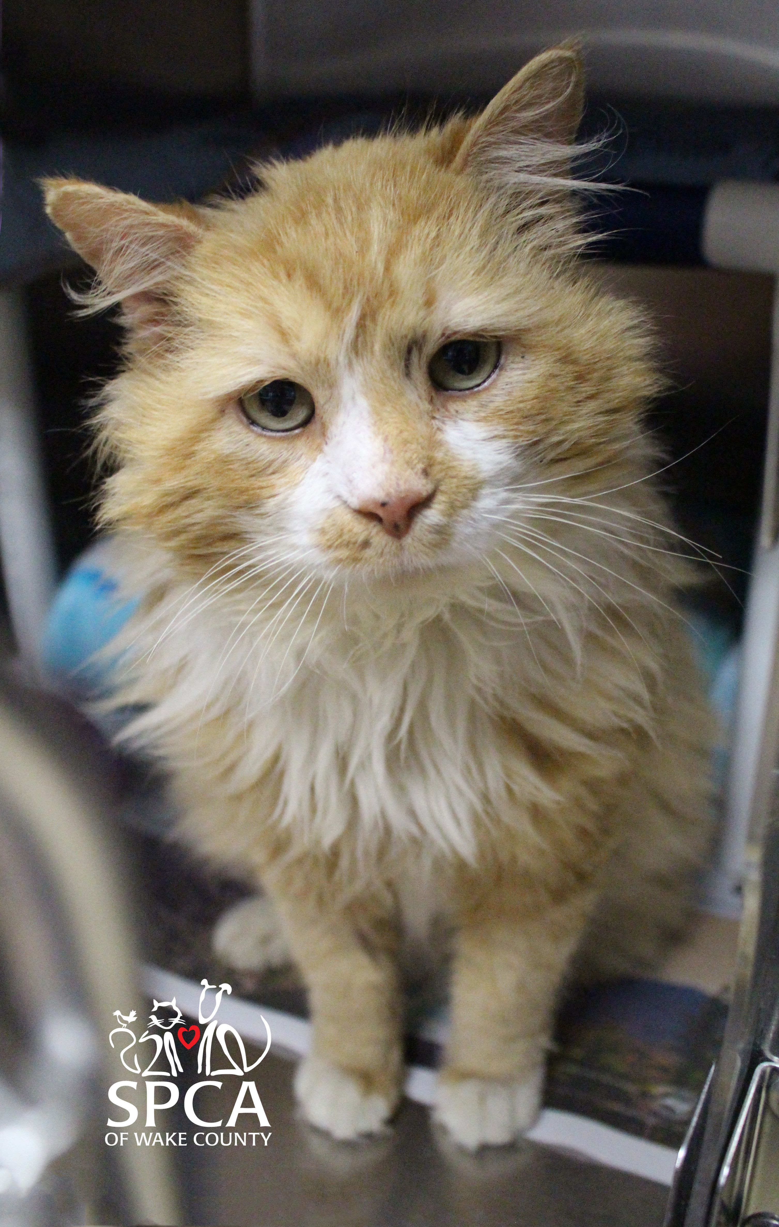 Toby,before he was adopted and wasstill at the SPCA of Wake County.