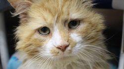 Este gato recorrió 19 kilómetros para volver con los dueños que lo