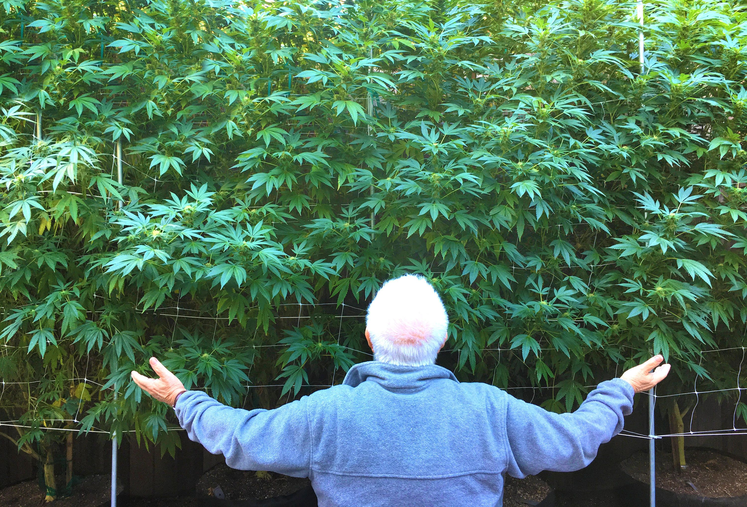 KEJ4PA Old senior man Cares for His weed Plants