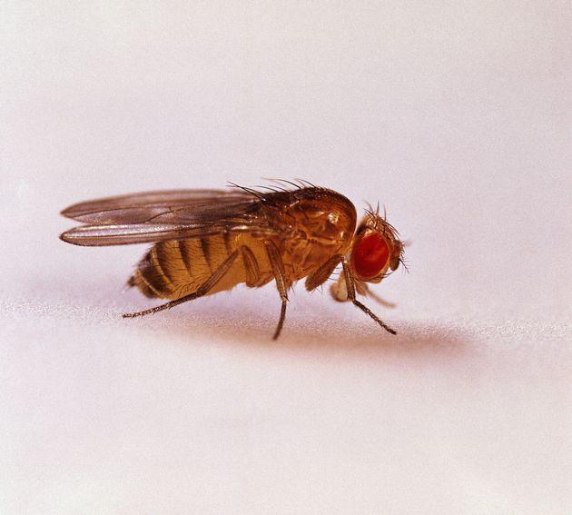 Έρευνα: (Και) οι φρουτόμυγες απολαμβάνουν το