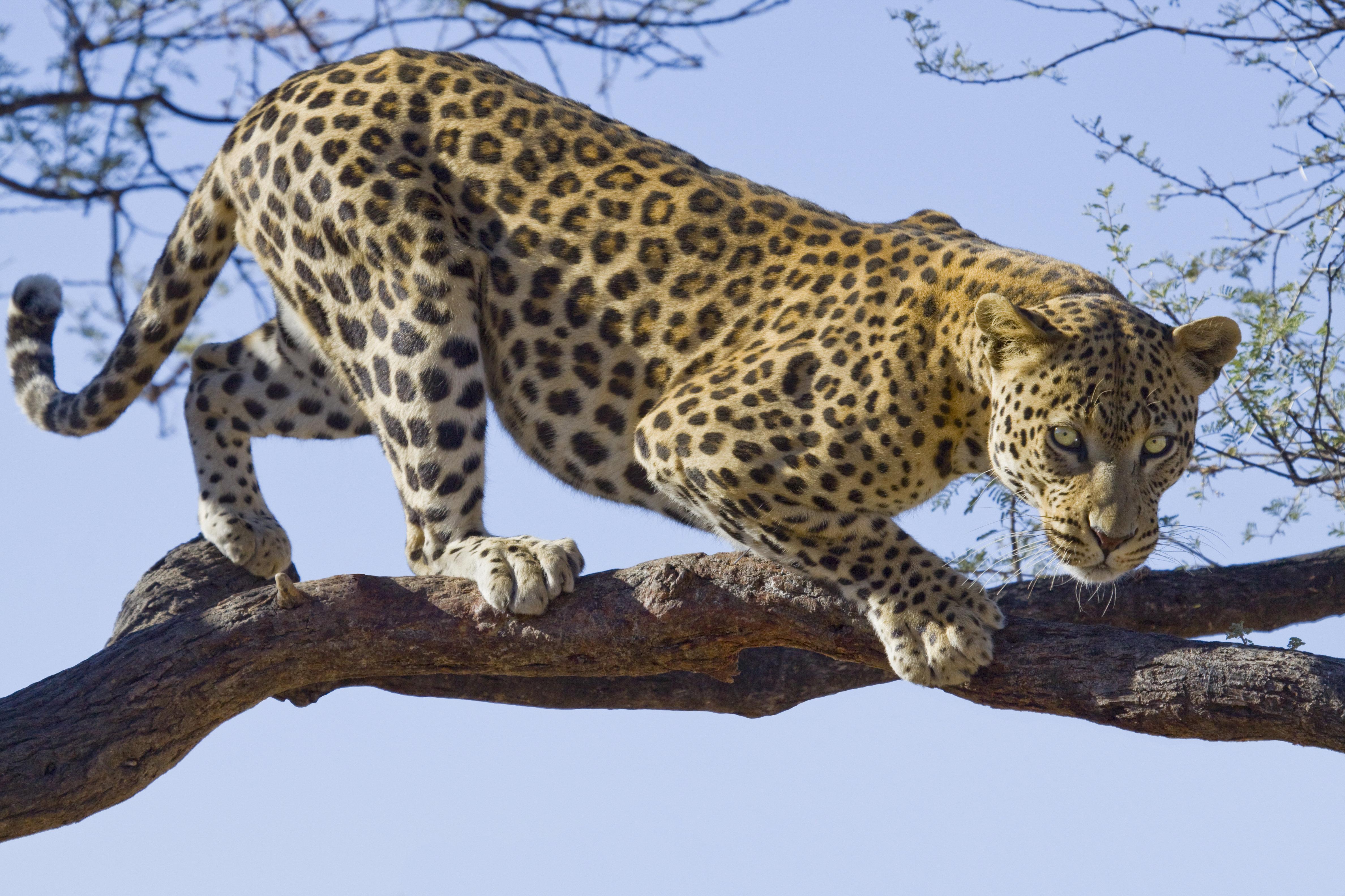 Namibia: Mann will Fenster schließen – plötzlich steckt sein Kopf im Rachen eines Leoparden