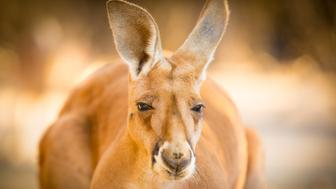 A large male red kangaroo from Central Australia.  Close up, head on.