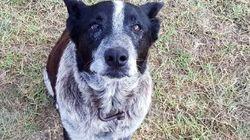 Κωφός και σχεδόν τυφλός σκύλος προστατεύει