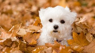 Little Alle, a Bichon and Maltese mix playing in the leaves shows nice fall colors and good attention to the subject.