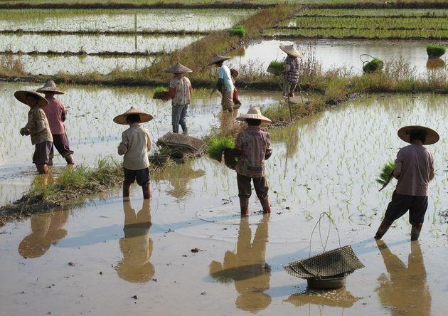 중국 남부의 논에서 모내기를 하는 모습. 공동노동이 필요한 논농사는 상호의존적 문화를