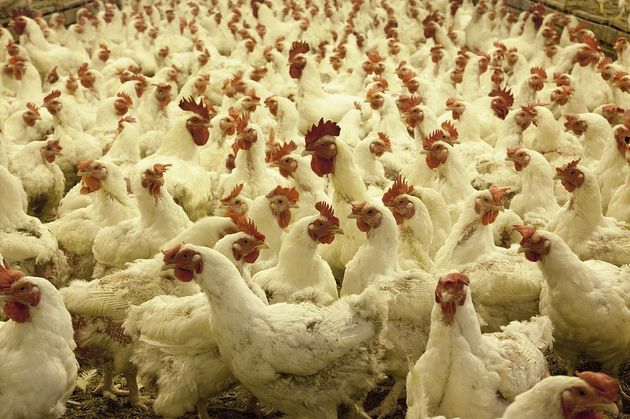 Intensively reared broiler