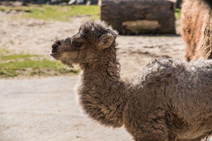 Louis the camel.