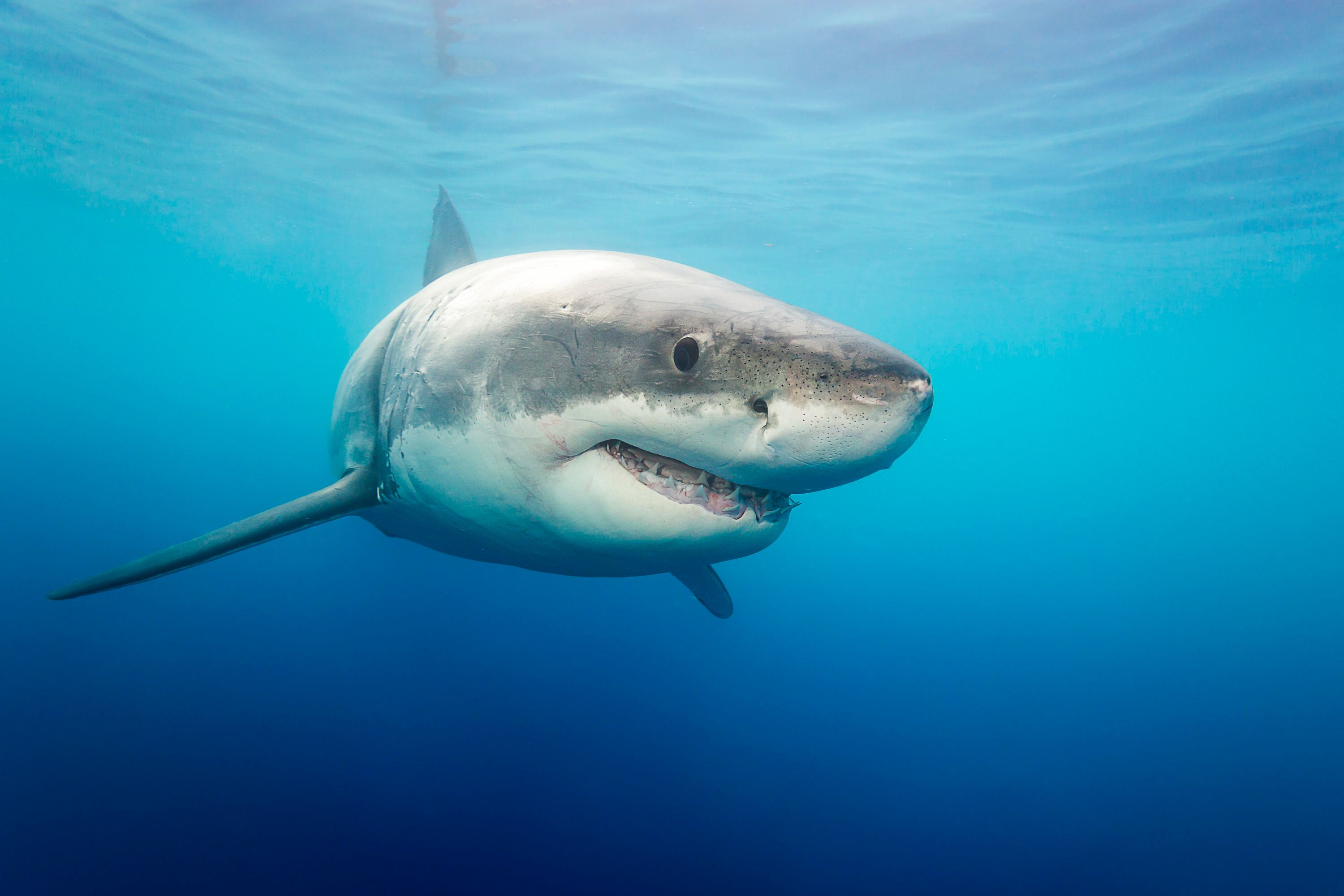 *** EXCLUSIVE ***  GUADALUPE ISLAND, MEXICO - SEPTEMBER 8: A great white shark photographed on September, 8, 2015 near Guadalupe Island, Mexico.  Great white sharks emerge from the water with their jaws open in the clear blue waters of the Pacific Ocean. The incredible animals were photographed off the the coast of Guadalupe Island- a small volcanic island roughly 150 miles off the coast of Mexico's Baja California peninsula. There is thought to be roughly 170 great white's near the island- making it one of the best places in the world for divers to spot them.  PHOTOGRAPH BY David Fleetham / Barcroft India  UK Office, London. T +44 845 370 2233 W www.barcroftmedia.com  USA Office, New York City. T +1 212 796 2458 W www.barcroftusa.com  Indian Office, Delhi. T +91 11 4053 2429 W www.barcroftindia.com (Photo credit should read David Fleetham / Barcroft India / Barcroft Media via Getty Images)