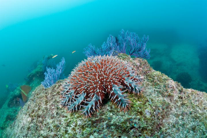 Crown of Thorns starfish contribute significantly to coral loss in the Great Barrier Reef.
