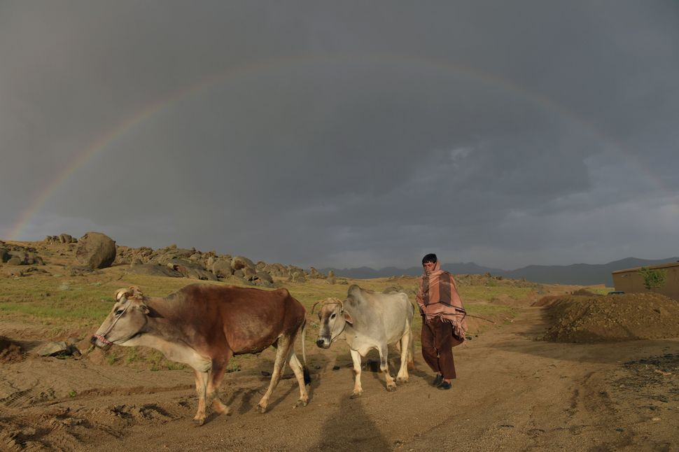 A man leads his cows as a rainbow forms in the background in Daykundi province on May 11, 2016.