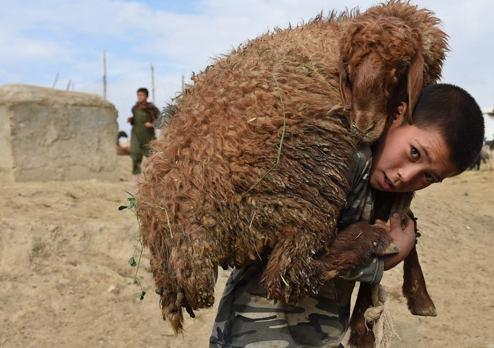 A boy carries a sheep on his shoulders at a livestock market ahead of the Eid al-Adha festival in Kabul on Sept. 22, 2015.
