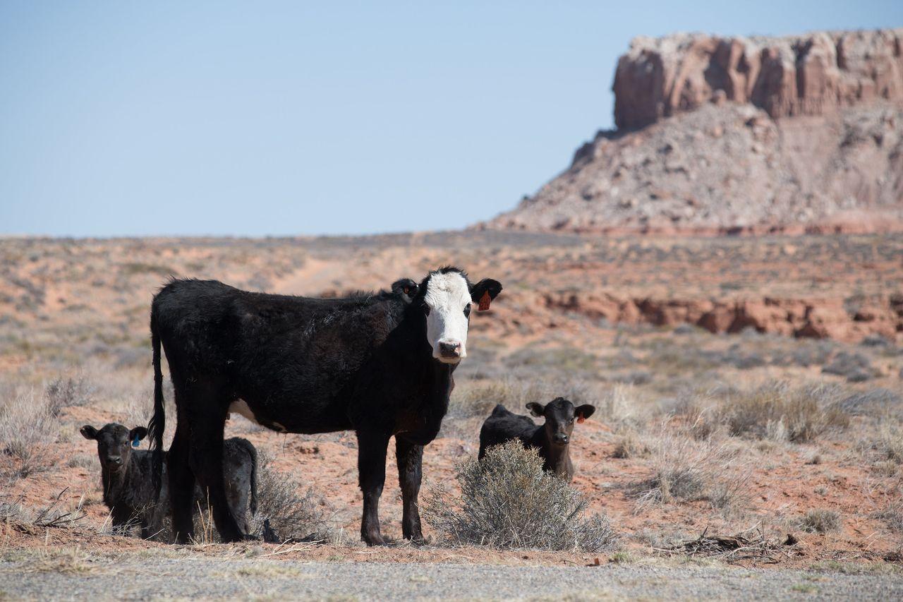 Open range cattle near Comb Wash and Bluff, Utah.