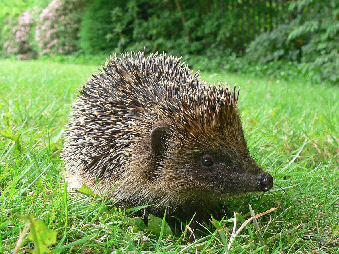 How To Make Your Garden A Hedgehog
