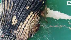 Forscher sind begeistert: Hier zerlegen Krokodile und Haie einen Wal