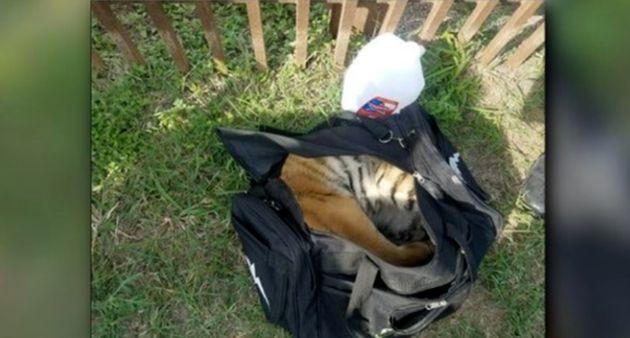 새끼 호랑이가 밀수꾼 가방 안에서