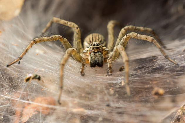 Η γηραιότερη αράχνη στον κόσμο πέθανε από...τσίμπημα
