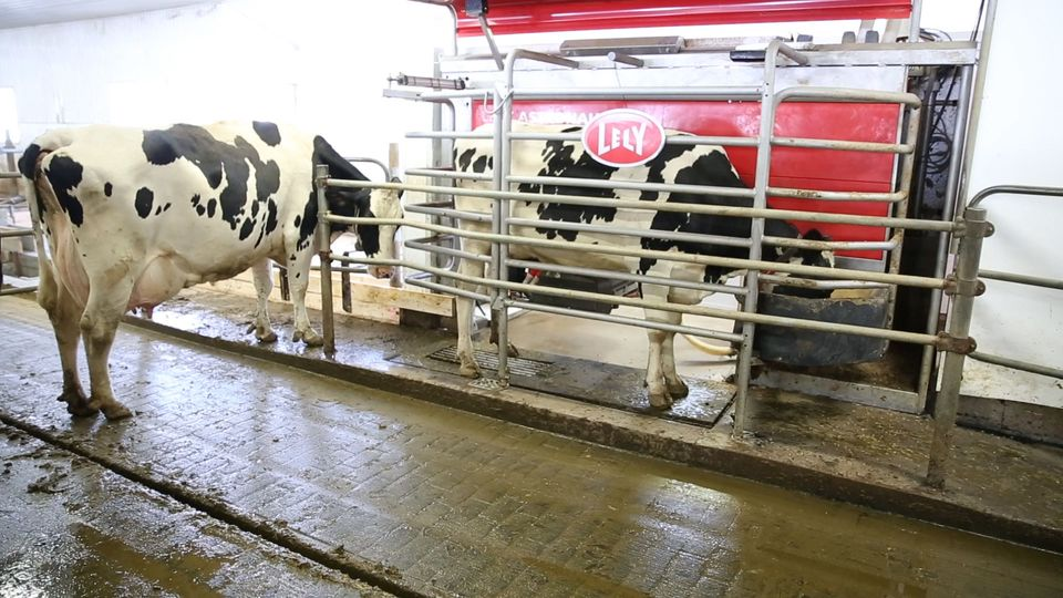Cows line up to be milked by Pascal Thout's milking