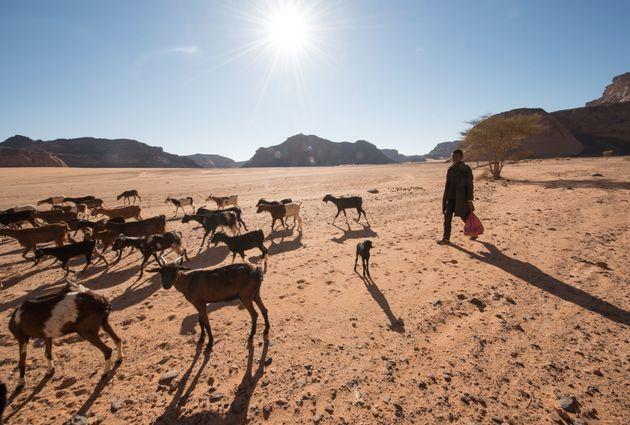 Un jeune berger libyenguide son troupeau de chèvres dans la zone désertique de l'ouest...