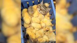 Katze landet in Kiste voller Küken – dann wird es so richtig