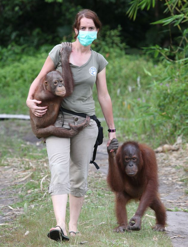 Dr. Karmele Llano Sanchez leads a team in Indonesia that rescues and rehabilitates orangutans, many...