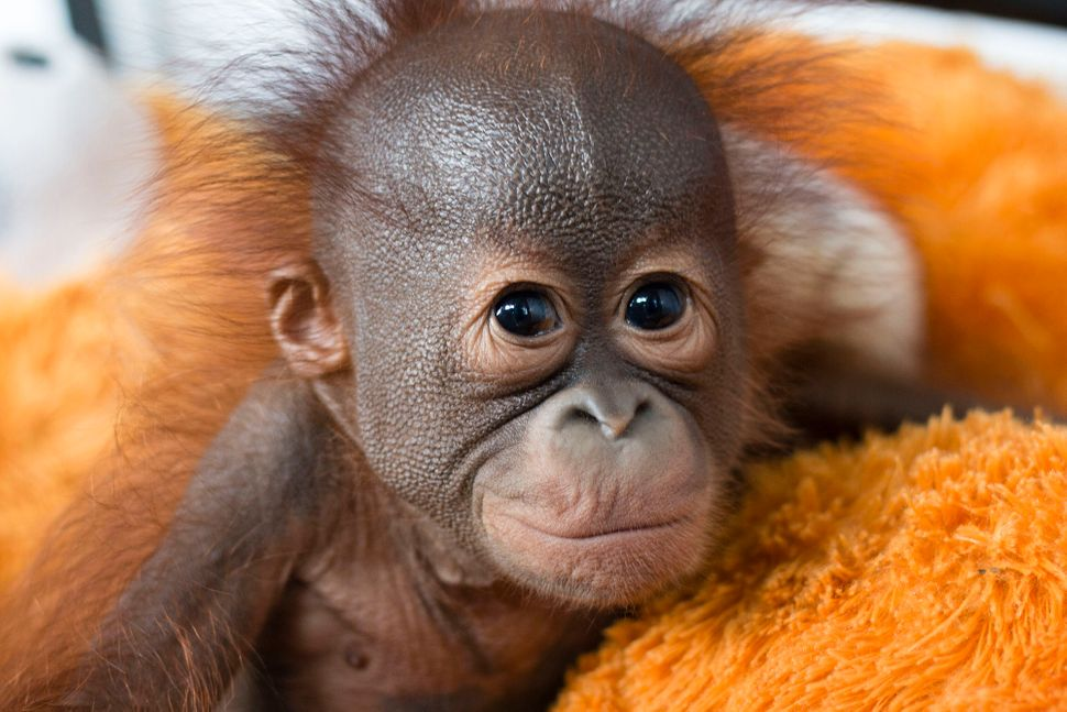 Gatot, a young orphan, receives medical care. Ninety-five percent of animals arriving at the International Animal Rescue's Indonesia center are orphaned orangutan babies.