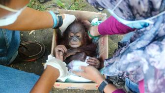 Baby orangutan Udin being rescued from the illegal wildlife pet trade