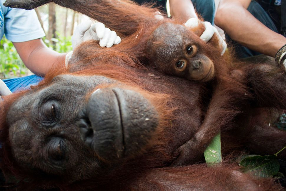 After humans, orangutan babies have the longest childhood in the natural world.