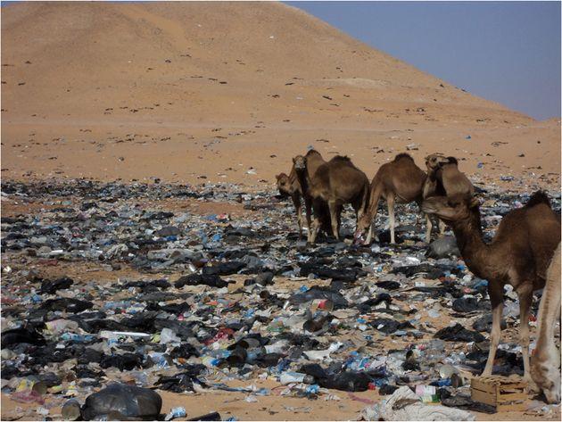 Des dromadaires fourrageant dans les déchets jetés par les travailleurs pétroliers...
