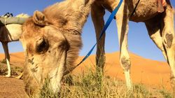 """Deux chercheurs algériens découvrent la maladie du """"chameau fou"""" à"""